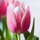Beautiful Pink Tulip by Claire Tennant