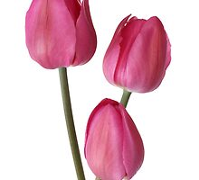 three pink tulips by OldaSimek