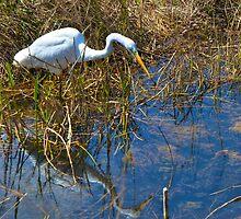 White Heron Fishing by njordphoto