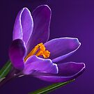 PURPLE CROCUS by Sandy Stewart