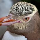 Adult Yellow-eyed Penguin by fotoWerner