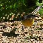 Wagtail action! by christopher363
