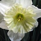Ice Follies Daffodil by Betty Mackey