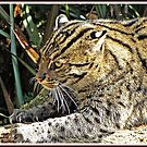 """"""" Fishing Cat"""" by mrcoradour"""