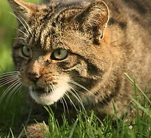 Wildcat at the British Wildlife Centre by ThatsAndy