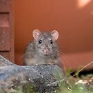 brown rat in the garden by Jon Lees