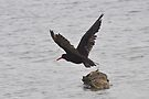Sooty Oystercatcher by Ian Berry