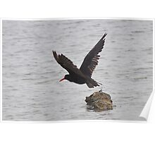 Sooty Oystercatcher Poster