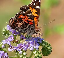 American Painted Lady by Nick Conde-Dudding