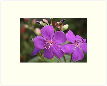 Tibouchina Jules by reflector