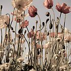 Antique poppies by ken47