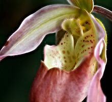 Lady's Slipper Orchid  III by Lesley Smitheringale
