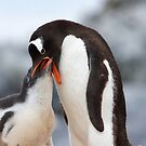  Gentoo Penguin and Chick ~ &quot;Meals Home Delivered&quot; by Robert Elliott