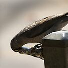 Thirsty -Noisy Mynah by Gryphonn