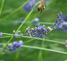 Lavender on a windy day with honey bee buzzing off by Liza Kirwan