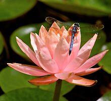 Lotus Dragon by Nick Conde-Dudding