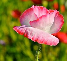 Red Corn Poppy by Nick Conde-Dudding