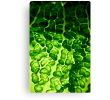 Close-up of a backlit savoy cabbage Canvas Print