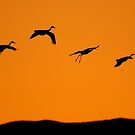 Sandhill Cranes landing at sunset by DavidQuanrud