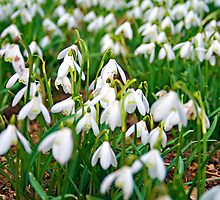Spring Snowdrop Blanket by Michelle Lovegrove