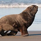 New Zealand Sea Lion 2 by Werner Padarin