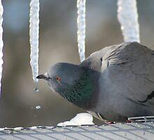Drinking Dove by Sergey Bezberdy