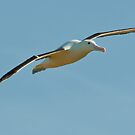 Royal Albatross by fotoWerner