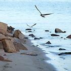 Gulls in flight from rocks to sea by pitspics