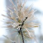Pine needles covered with frost by Linn Arvidsson