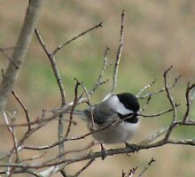 Blackcapped Chickadee by JeffeeArt4u