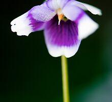 Tiny Native Violet by Renee Hubbard Fine Art Photography