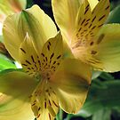 Pair of Basking Lilies by Orest Macina