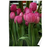 Vibrant pink Tulips Poster