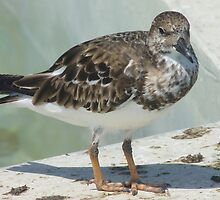 Ruddy Turnstone, resident @Turtle Farm, Grand Cayman  by Geetha Alagirisamy