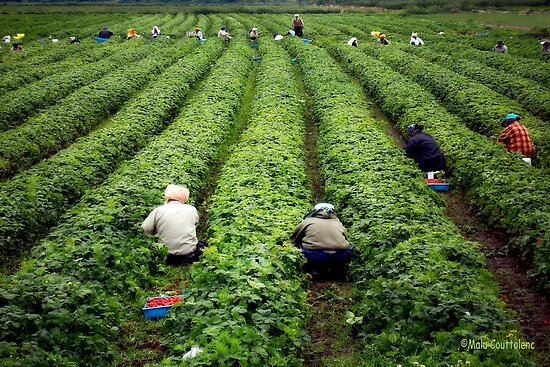 Strawberry Pickers by MaluC