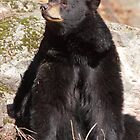 North American Black Bear by Todd Weeks