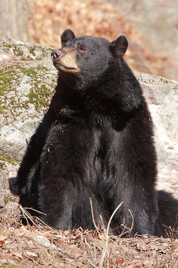 North American Black Bear by Todd Weeks