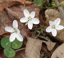 Wood Anemone - HS Mountain Road - Hot Springs National Park, AR by Lee Hiller-London