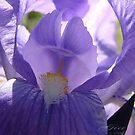 """""""The Iris"""" by Gail Jones"""
