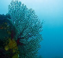 Gorgonian Sea Fan by WillOwyong