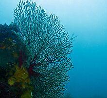 Gorgonian Sea Fan by WillOwyong