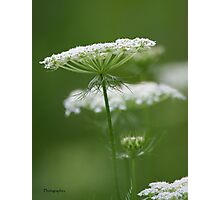 Flower Stack - Queen Anne's Lace Photographic Print