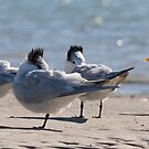 Five Terns on the flat by Karen  Moore