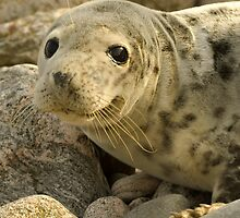 Common seal by Gabor Pozsgai