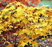 Branch of Japanese Acer leaves changing colour in Autumn by nymphalid