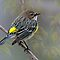 Yellow Rump Warbler in Spring by Bonnie T.  Barry