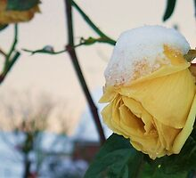 Yellow Rose in the Snow by MichelleRees