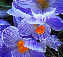 Crocus up close and personal by Michael Brewer