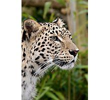 Persian leopard portrait Photographic Print
