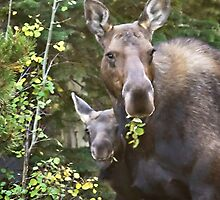 Moose Mom & Baby by Kim Barton